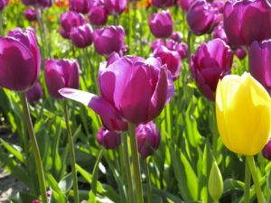 Spring ~ Tulips #3